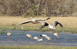 Pelicans and yellow billed storks. Africa Botswana Okavango delta , pelicans and yellow billed storks on lagoon royalty free stock photography