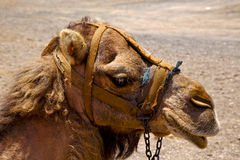 Africa brown dromedary bite volcanic lanzarote spain Royalty Free Stock Images