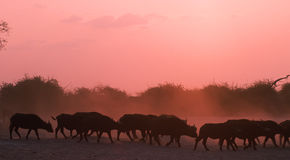 Africa-Buffalo. Cape buffalo on the move at sunset Royalty Free Stock Image