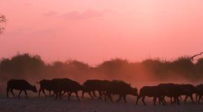 Africa-Buffalo Royalty Free Stock Image