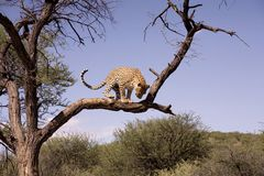 africa cheetah Arkivbild
