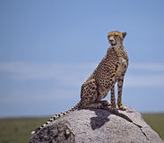 Africa-Cheetah royalty free stock photography