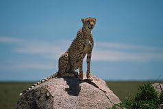 Africa-cheetah. Cheetah sitting on a kopje on the Serengeti Royalty Free Stock Images