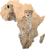 Africa and cheetah (Acinonyx jubatus) Royalty Free Stock Photo
