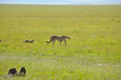 Africa. Cheetah in the savanna of africa on the prowl Stock Photos