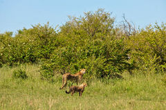 Africa. Cheetah in the savanna of africa on the prowl Stock Photography