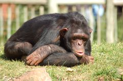 Africa Chimpanzee. Chimpanzee in a zoo, looking depressed Royalty Free Stock Photo