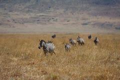 africa chodzące safari wiele zebry Zdjęcia Royalty Free