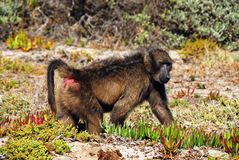 Africa- Close Up of A Baboon Walking Along the Coast stock photo