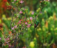 Africa- Close Up of a Beautiful Double Collared Sunbird royalty free stock photography