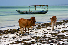 Africa cow coastline boat     the  blue lagoon relax  of zanziba Royalty Free Stock Photo
