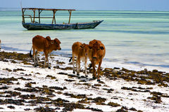 Africa cow coastline boat pirague in the  blue lagoon relax   za Stock Photos