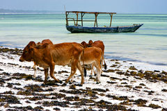 Africa cow coastline boat pirague in the  blue  of zanzibar Stock Photos