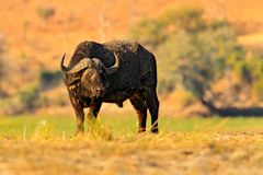 Africa, danger animal. Evening sunset in Africa. African Buffalo, Cyncerus cafer, standing on the river bank, Chobe, Botswana. Wil. Dlife scene from nature Royalty Free Stock Photography