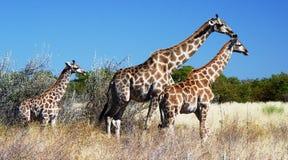 africa djursafari Royaltyfri Foto
