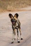 africa dogs södra wild arkivfoto