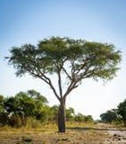africa drzewo Obraz Stock