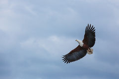 Africa, eagle, bird, predator, sky, flying, air, clouds, midday Royalty Free Stock Photos