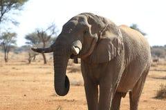 africa elefant Arkivbilder