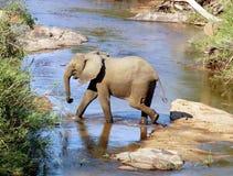 africa elefant Royaltyfria Foton