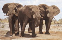 africa elefanter Arkivfoto