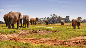 africa elefanter Arkivfoton
