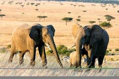 africa elefanter två Arkivbild