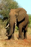 Africa elephant. Old African bull Elephant in the Kruger National Park South Africa royalty free stock photography