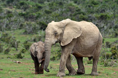 Africa Elephant with calf Stock Images