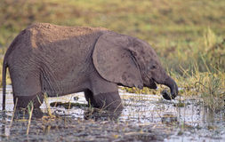 Africa-Elephant calf. A very young elephant calf munching sweet grasses on the shore of Lake Kariba, Zimbabe Royalty Free Stock Image