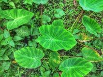 Africa elephant ear plant. Deep green elephant ear leafs stock photos