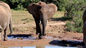 Africa Elephant Splashing Water stock video