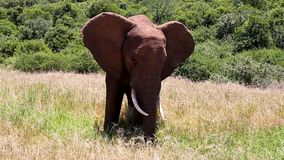 Africa Elephant waving Ears stock video footage