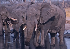 Africa-Elephants Stock Photography