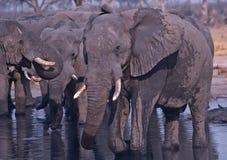 Africa-Elephants. African elephants drinking at a Botswana waterhole Stock Photography