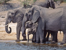 Africa-Elephants Royalty Free Stock Photography