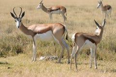 africa etoshaspringboks Arkivfoton