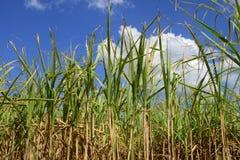Africa, a field of sugar cane in Mauritius. Africa, field of sugar cane in Mauritius royalty free stock photos