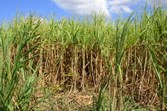 Africa, a field of sugar cane in Mauritius. Africa, field of sugar cane in Mauritius royalty free stock image