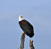 Africa Fish Eagle Stock Images