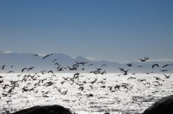 Africa- A Flock of Sea Birds Flying Over False Bay- South Africa Stock Photography