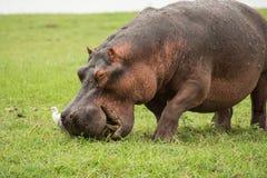 africa flodhäst Arkivfoton