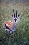 africa gazelle s thompson Arkivbilder