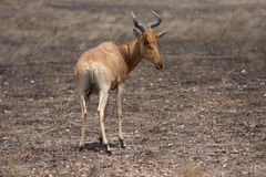 Africa gazelle standing in desert Royalty Free Stock Image