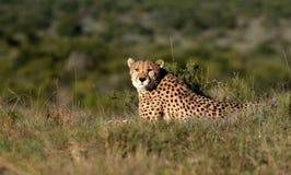africa geparda południe obrazy stock