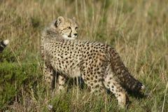 africa geparda południe Obrazy Royalty Free