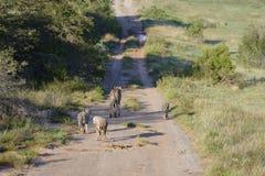 africa geparda południe Obraz Stock