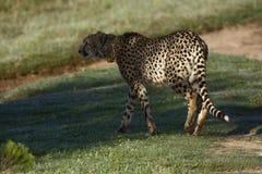 africa geparda południe Zdjęcie Royalty Free