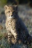 africa geparda południe Fotografia Stock