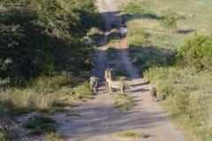 africa geparda południe Fotografia Royalty Free